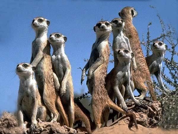 suricat-adorer